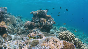 Apo礁石,珊瑚礁在菲律宾 免版税库存图片
