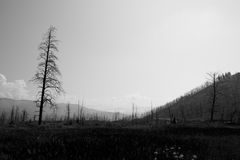 Apocalypse. A lone burned tree from the wildfires a decade ago stands out in Yellowstone National Park Royalty Free Stock Photo