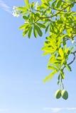 Apocynaceae Στοκ Εικόνα