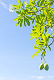 Apocynaceae Stock Image