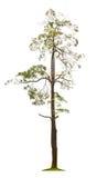 Apocynaceae de scholaris d'Alstonia, généralement appelé le tre de Blackboard photos libres de droits