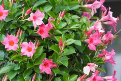 Apocynaceae mandevilla sanderi rosea, beautiful pink flowers in the form of bluebells stock photography