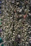 Apocynaceae plant is an epiphytes native to tropical areas of China, India and South East Asia, vertical decoration. Use for vertical garden and indoor Stock Images
