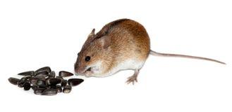 ποντίκι πεδίων apodemus agrarius ριγωτό Στοκ φωτογραφίες με δικαίωμα ελεύθερης χρήσης