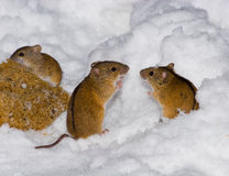 Apodemus agrarius, Striped Field Mouse Stock Images