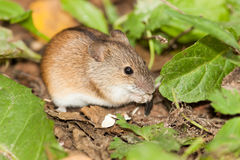 Apodemus agrarius, Striped Field Mouse. Royalty Free Stock Image