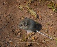 apodemus podłogowy lasowy myszy sylvaticus drewno Fotografia Royalty Free