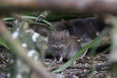 Apodemus sylvaticus, wood mouse portrait feeding stock photo