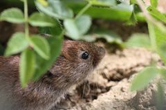 Apodemus sylvaticus, wood mouse portrait feeding royalty free stock images