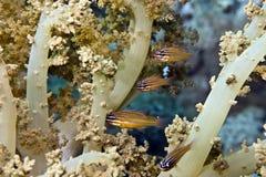 apogon深红鱼cyanosoma镶边黄色 库存图片