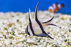 Apogon Pterapogon Kauderni Στοκ Φωτογραφία