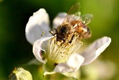 Apoidea en una flor de las zarzamoras. Foto de archivo