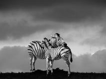 Apoio da zebra em África Imagens de Stock