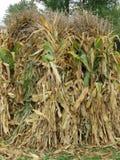 Apoio das hastes do milho como um grupo imagens de stock