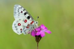 Apollo Buterfly Parnassius apollo in Czech Republic stock image