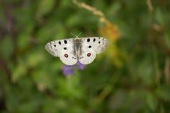 Apollo Buterfly Parnassius Apollo dans la R?publique Tch?que photos stock