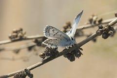 Apollo Butterfly fotos de stock