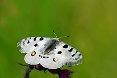 Apollo butterfly Royalty Free Stock Photography