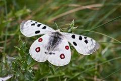 Apollo butterfly. Beautiful Apollo butterfly (Parnassius apollo Royalty Free Stock Photo