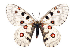 Apollo butterfly Royalty Free Stock Images