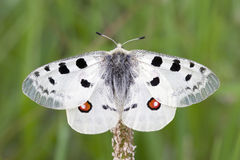 Apollo Butterfly on flower Royalty Free Stock Images