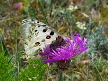 Apollo Butterfly or Mountain Apollo, sitting on the pink flower. Beautiful insect with pink flower. Apollo Butterfly or Mountain Apollo, sitting on the pink royalty free stock images