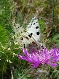 Apollo Butterfly or Mountain Apollo, scene from the meadow. Beautiful insect with pink flower. Apollo Butterfly or Mountain Apollo, scene from the meadow stock images