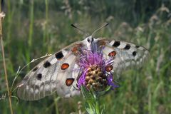Apollo butterfly Parnassius Apollo sitting on pink flower. Apollo butterfly Parnassius Apollo, with large white wings and pattern of red and black spots, sitting royalty free stock photography
