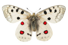 Apollo butterfly (Parnassius apollo) Royalty Free Stock Photography