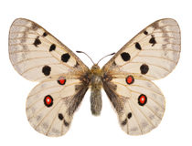 The Apollo butterfly Royalty Free Stock Photo