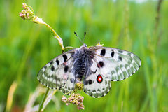Apollo butterfly sits on a grass Stock Image