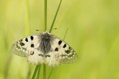 Apollo fjäril med öppna vingar Arkivfoto