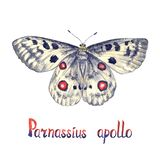 Apollo ou montagne Apollo Parnassius Apollo, illustration peinte à la main d'aquarelle avec l'inscription illustration de vecteur