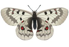 Apollo Parnassius jacquemonti vector illustration