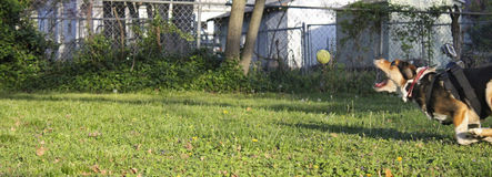 Apollo playing fetch with tennis ball Royalty Free Stock Photos