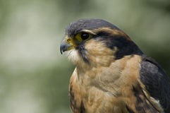Apolmado Falcon royalty free stock photography