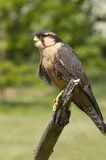 Apolmado Falcon Royalty Free Stock Images