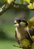Apolmado Falcon Stock Images