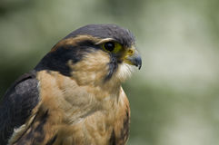 Apolmado Falcon Stock Photography
