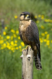 Apolmado Falcon Stock Photo