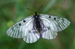 Apolon butterfly Royalty Free Stock Photos