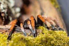 Aponopelma Bicoloratum 免版税图库摄影
