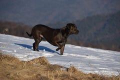 Apontando o cão Imagem de Stock Royalty Free