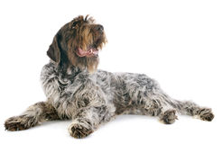 Apontar Griffon Wirehaired foto de stock royalty free