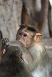 Apor arkivfoto