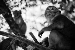 Apor Arkivbild