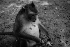 Apor Arkivbilder