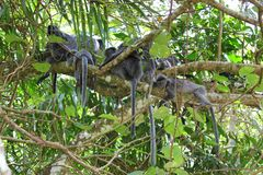 Apor för lång svans för Macaque Royaltyfri Foto
