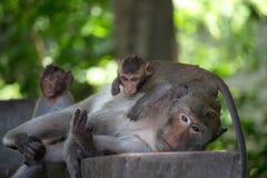 Apor fostrar och barnet royaltyfria bilder
