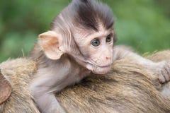 Apor fostrar och barnet royaltyfria foton